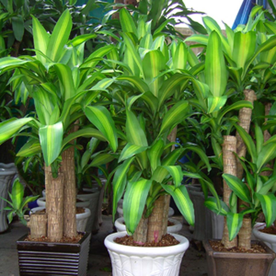 Hướng dẫn kỹ thuật trồng và cách chăm sóc cây Phát tài - Thiết mộc lan