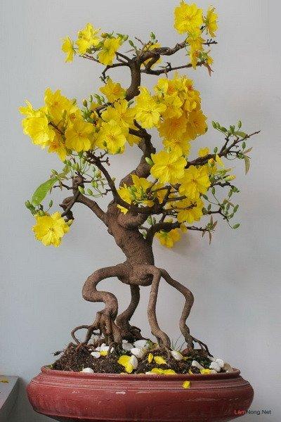 Kỹ Thuật Trồng Mai Vàng Bonsai 6