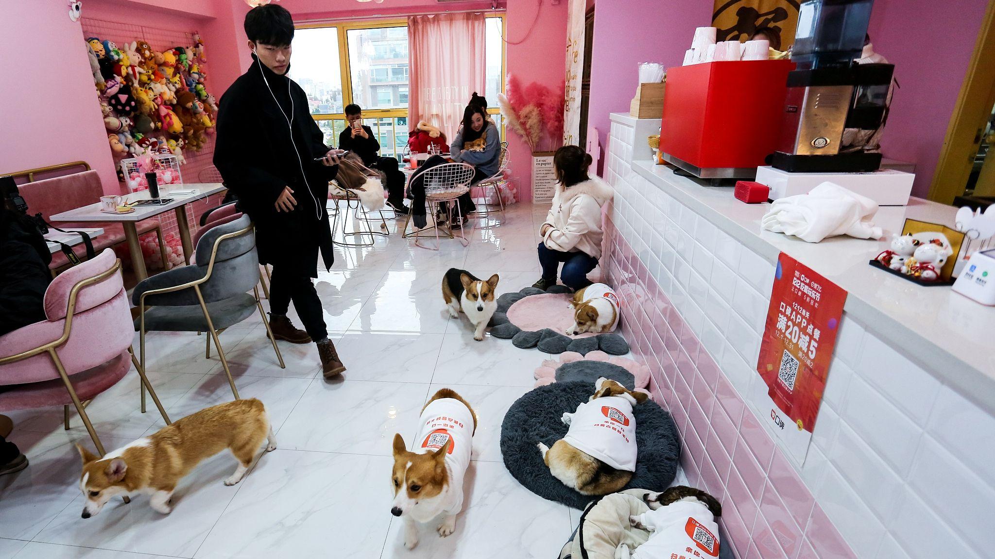 Corgis wait tables at Shanghai cafe | Pet cafe, Dog cafe, Pet hotel