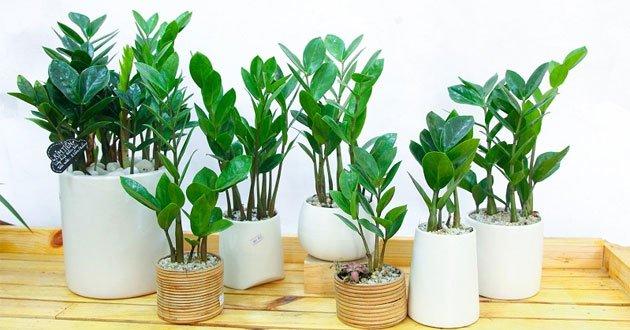 cây phong thủy người giàu thường trồng