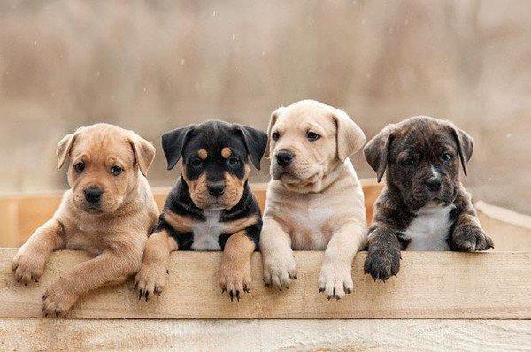 nuôi chó phong thủy