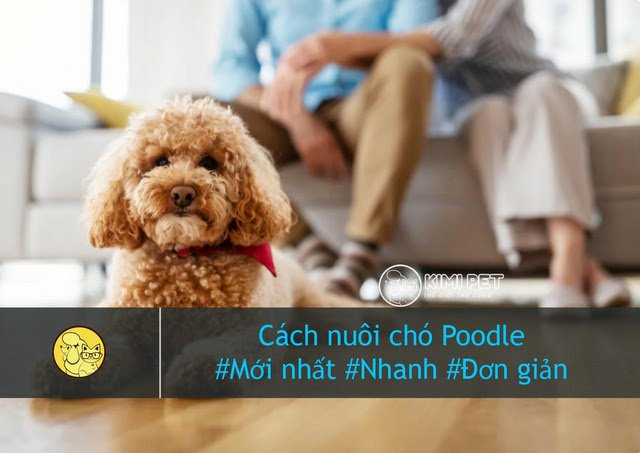Poodle là thú nuôi phổ biến trong nhiều gia đình