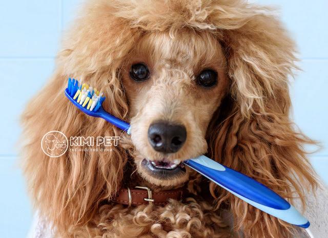 Hãy đánh răng cho Poodle thường xuyên