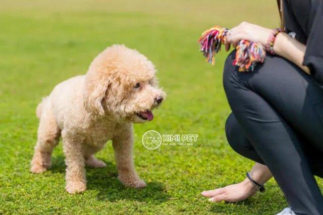 Việc huấn luyện sẽ gia tình cảm giữa Poodle và chủ nuôi